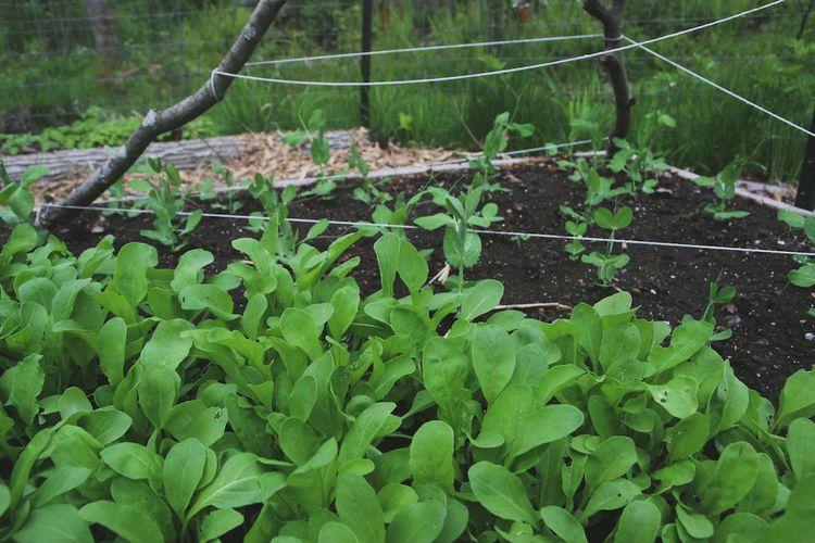 Arugula and peas