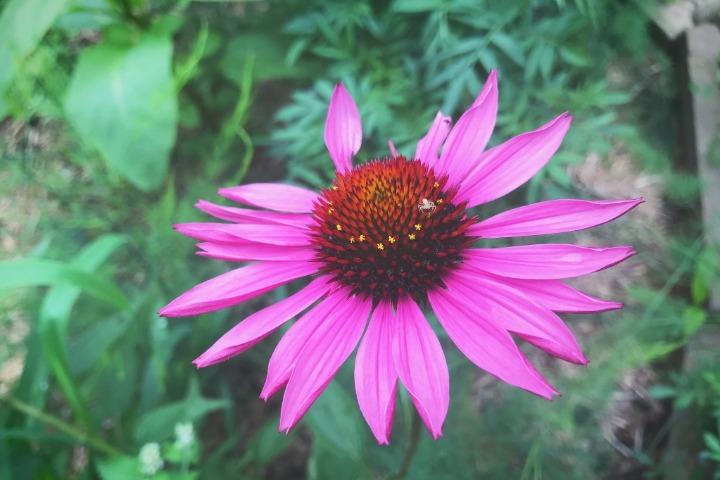 echinacea purpurea spider farm
