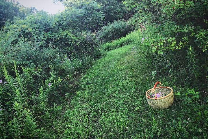 field monarda harvest