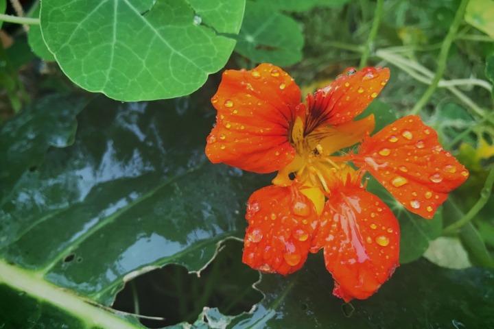 nasturtium swiss chard rain garden