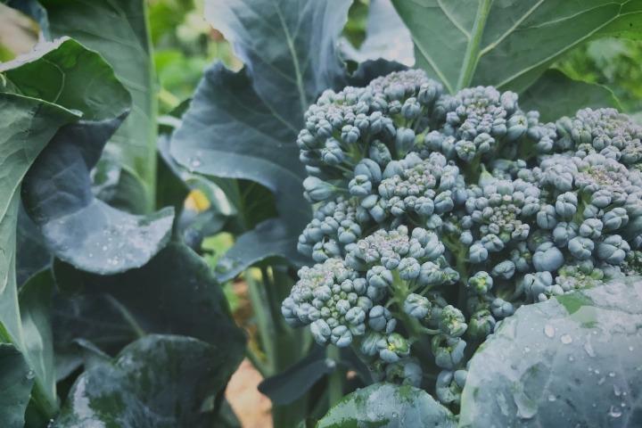 umpqua broccoli permaculture garden