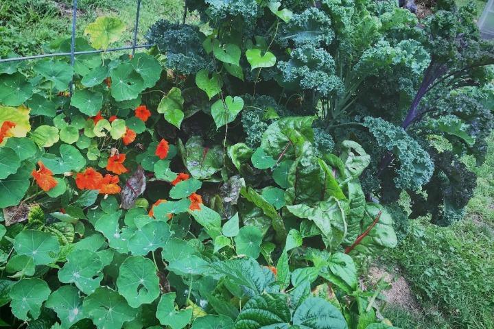 nasturtium kale chard interplanted permaculture biodynamic garden